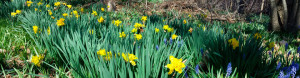heirloom daffodils at The Speaker's House
